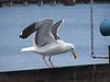 Seagull - The Preening