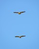 Hawk Buddies Hovering over Point Fermin in San Pedro, California