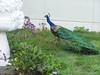 Peacock - 5