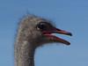 Ostrich - 3