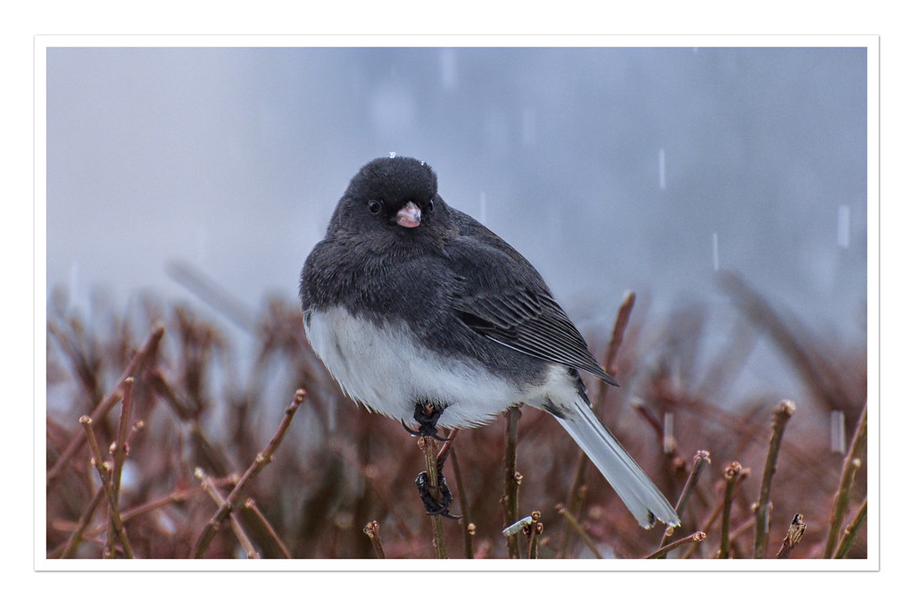 Blackeyed Junco