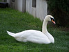 Swan, Hollywood Forever - 3