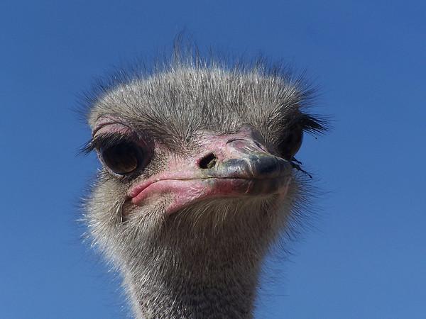 Ostrich - 6