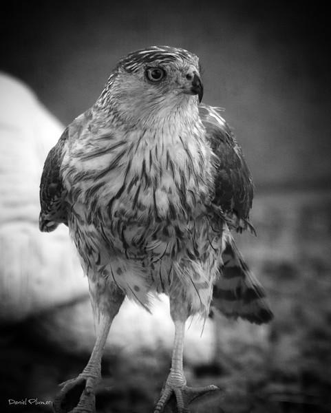 Cooper's Hawk In Black And White