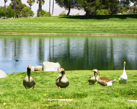 Gaggle by the Lake -  Riverside National Cemetery