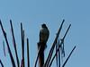 Hawk - 1