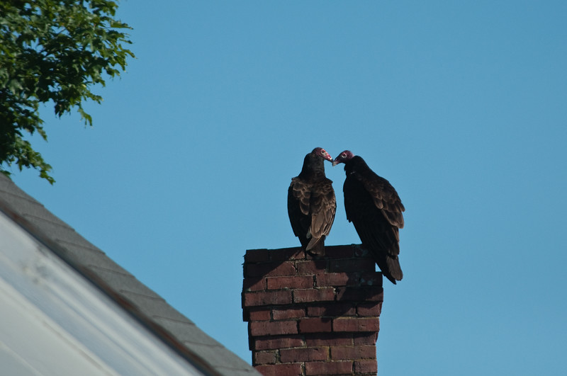 Turkey Vultures; as cute as they get.