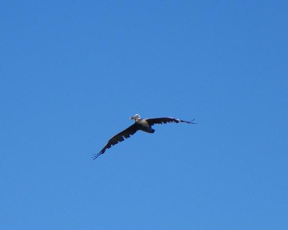 Pelican Swoop