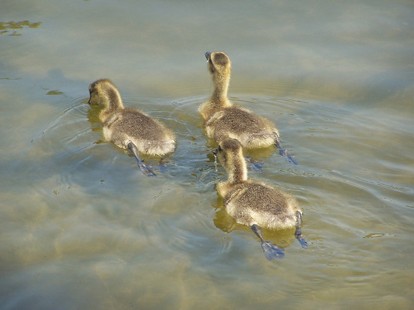 Ducklings - 2