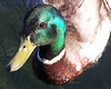 Duck - 5
