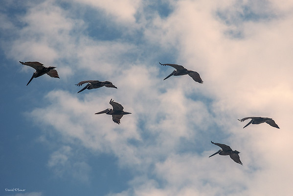 Dance Of The Pelicans