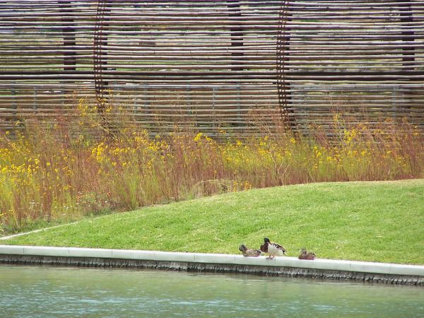 Duck - 6