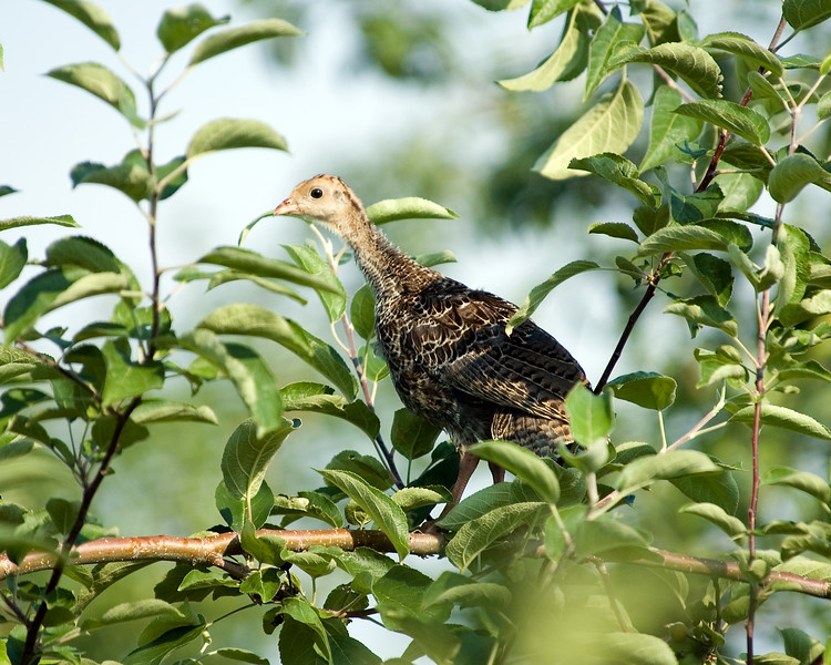 Young wild turkey in apple tree.
