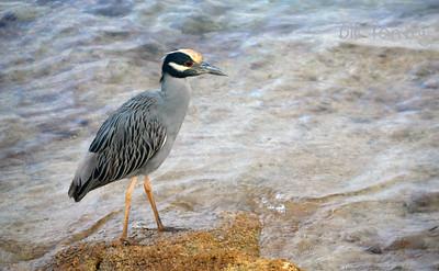 Night Heron, Coney Island, St. Georges, Bermuda
