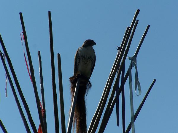 Hawk - 3