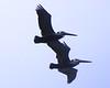 Pelican Pair - 1