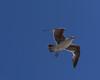 Seagull hesitating