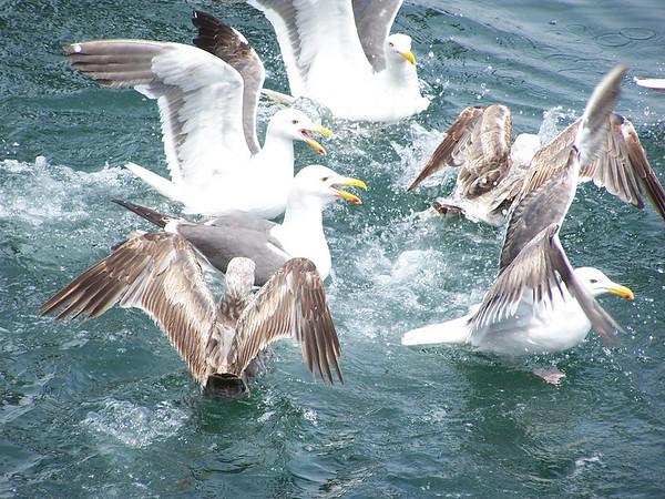 Seagull - the Fluttering