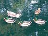 Duck - 9