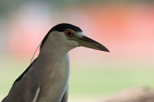 Black Crowned Night Heron Portrait