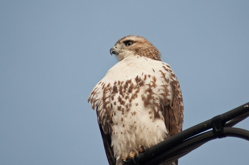 Red Tail Hawk, Bolton, MA