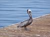 Pelican Poser