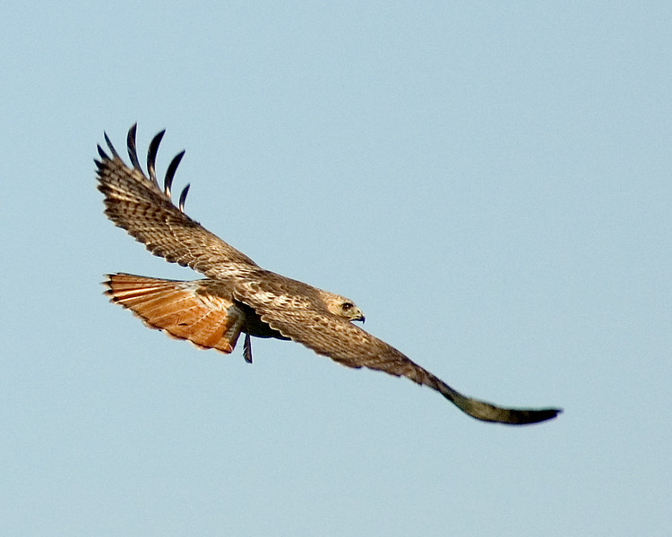 Soaring red tail hawk.