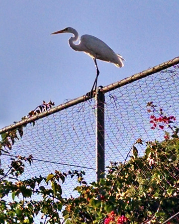 Egret at Santa Ana River Lakes - 2
