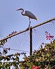 Egret at Santa Ana River Lakes - 2