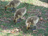 Ducklings - 1