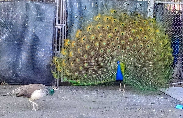 Santa Ana River Lakes - showing his colors for the girl walking by...