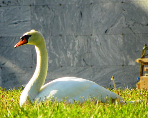 Swan, Hollywood Forever - 1