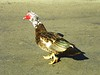 What do you think - is this a Muscovy Duck?? It's walking around Hollywood Forever Cemetery.