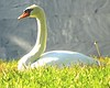 Swan, Hollywood Forever - 2