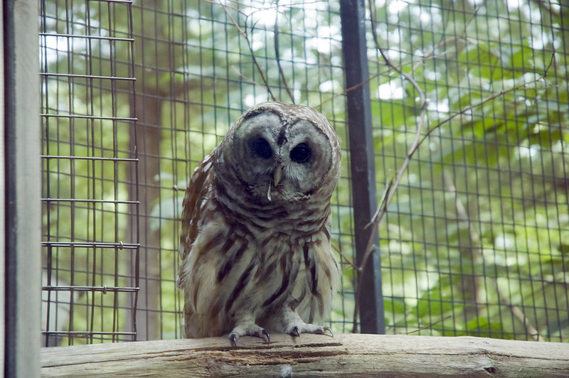 Barred Owl, Squam Lakes Natural Science Center