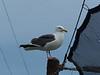 Seagull overseer
