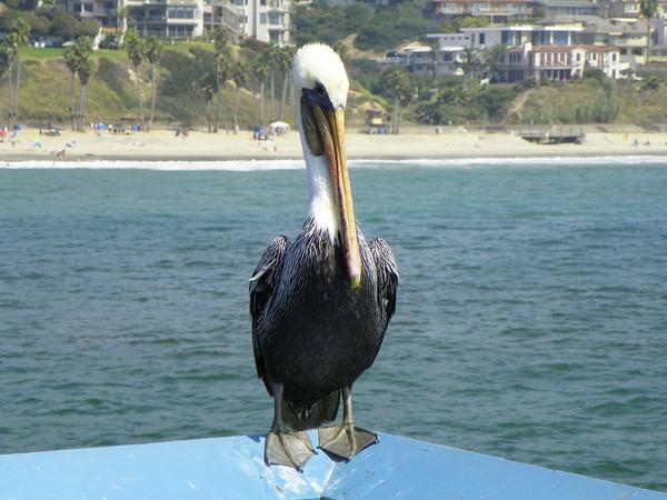 Pelican at San Clemente