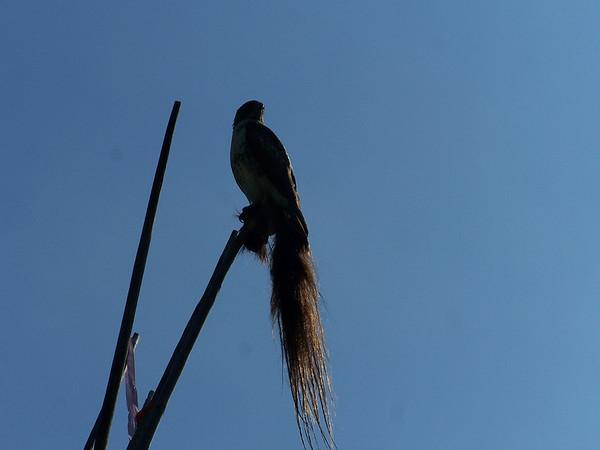 Hawk - 2