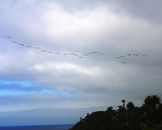 Pelican Flock - 2