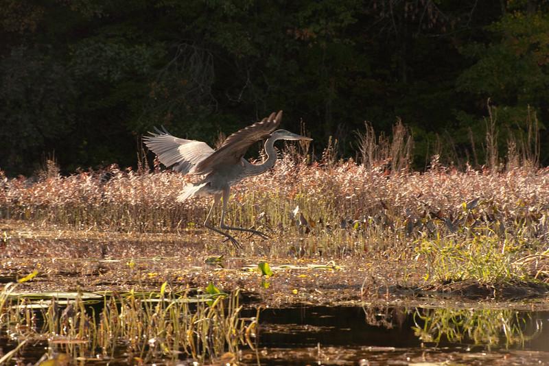 Blue Heron - North Eastern USA