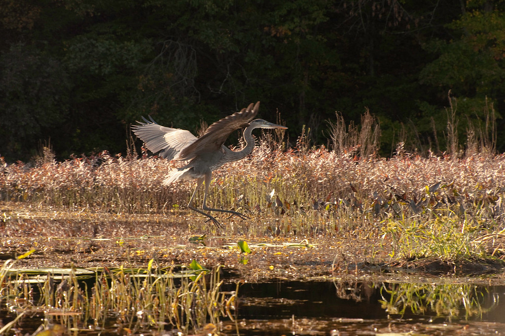 Blue Heron - North Eastern USA