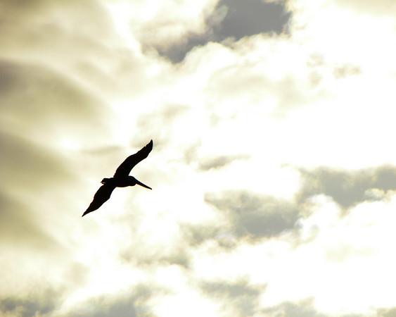 Pelican Bright