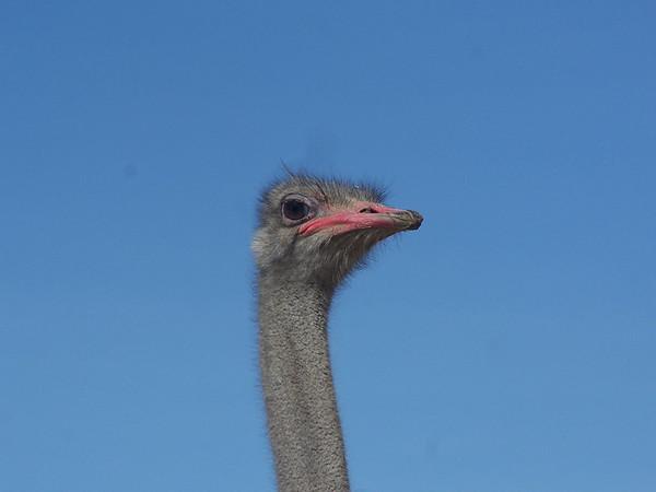 Ostrich - 2