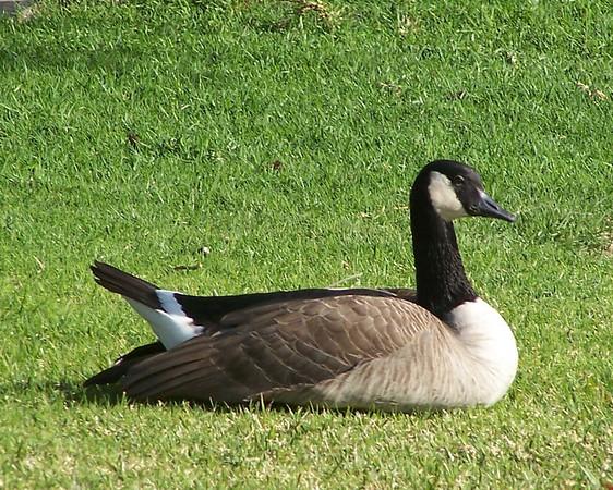 Goose - 5