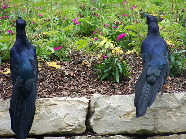 Blackbirds at the Dallas Arboretum