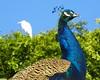Peacock & Friend