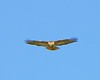 Hawk Hovering