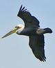 Pelican soaring over Newport