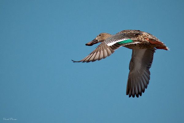 Female Shoveler Duck In Flight