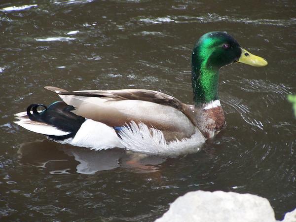 Duck - 1